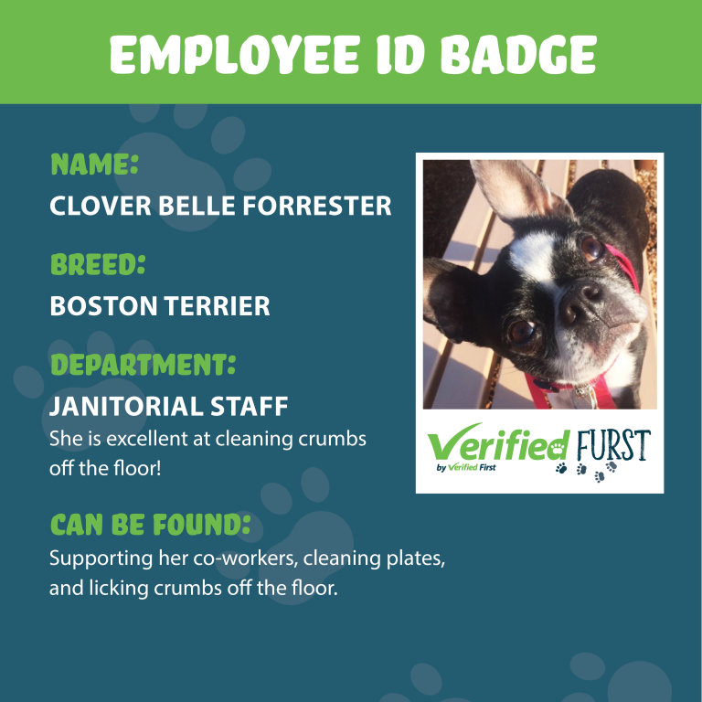 VerifiedFurst_Clover Belle Forrester-Boston Terrier