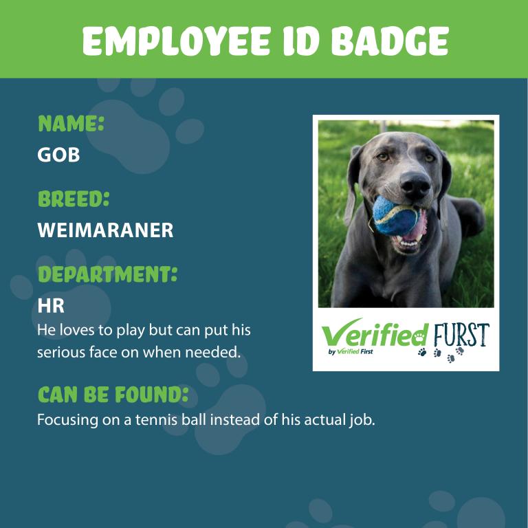 VerifiedFurst_Gob-Weimaraner