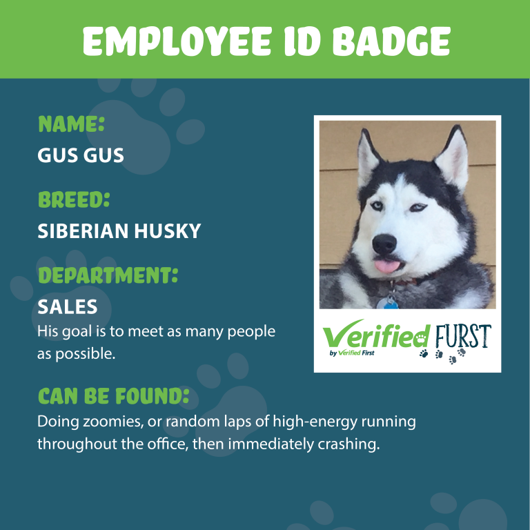 VerifiedFurst_Gus Gus-Siberian Husky