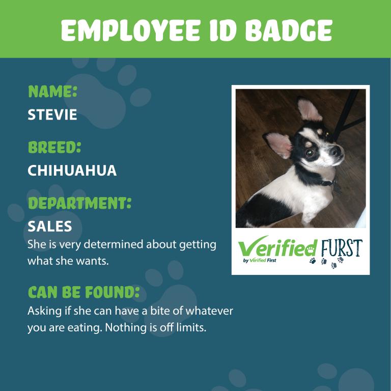 VerifiedFurst_Stevie-Chihuahua